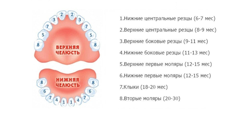 Как лезут зубы схема